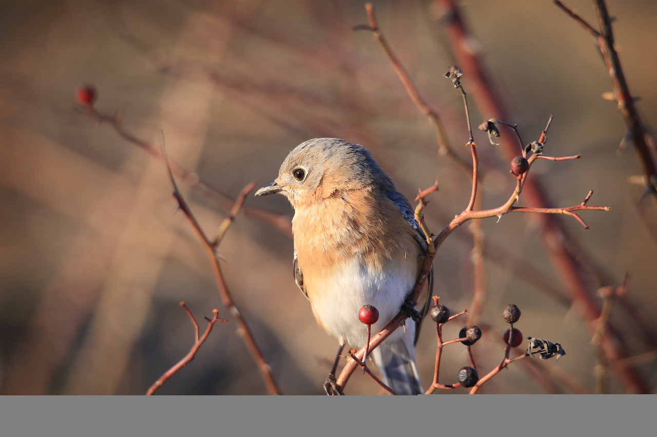 Female bluebird eating berries (photo)