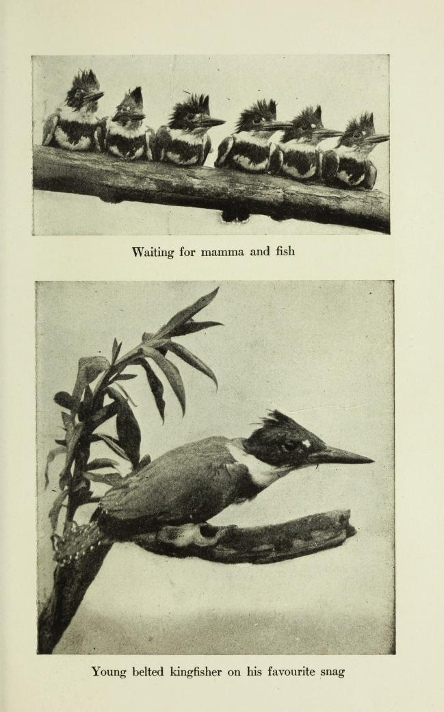 two black and white photographs, one of 6 juvenile kingfishers on a branch, and one of a lone kingfisher on a branch